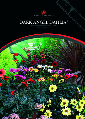 Dark Angel Dahlia Flyer